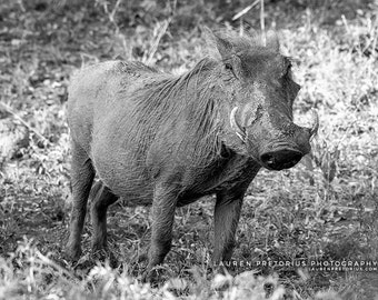 Warthog - Animal Photography, Africa Safari Archival Giclee Print, Wildlife Photo - Multiple Sizes Available
