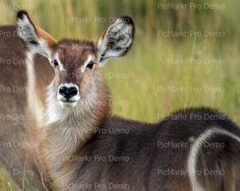 Waterbuck - Edible Cake and Cupcake Topper For Birthday's and Parties! - D20946
