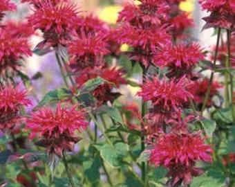 Monarda/Scarlet Bee Balm (Monarda Didyma Panorama Red Shades) Seeds