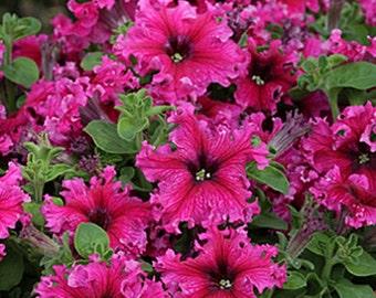 Petunia Expresso Frappe Rose * Frilled!! 25 Seeds