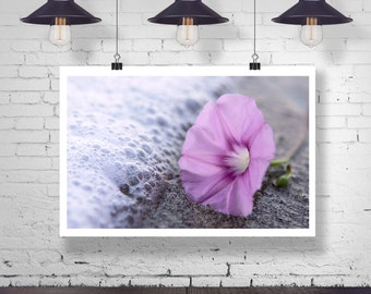 Photograph - Purple Morning Glory Flower on the Ocean Beach Macro Fine Art Photography Print Wall Art Home Decor