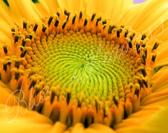 Yellow Sunflower, Sunflower, Yellow Flower, Floral, Flower Photo, Nature Photography