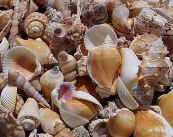 Bulk Seashells, Wholesale Seashells, Mixed Seashells, Wedding Shells