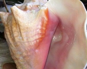 "Wholesale Bahama Conch, Pink Conch, Conch Seashells, Bahama Conch 7""-8"""