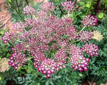 Certified Organic Dara Queen Anne's Lace Flower Seeds (~400): Non-GMO, Certified Organic Heirloom Seed Packet