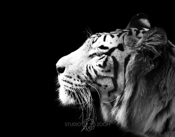 White Tiger Photography Big Cat Exotic Wildlife And Animal