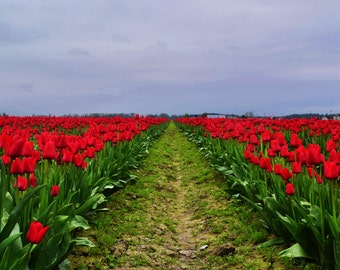 Red Row of Tulips, Skagit Valley, WA