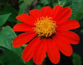 Red Torch Mexican Sunflower Flower Seeds / Annual   50+