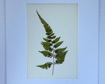 FREE SHIP  Real Pressed Japanese Painted Fern Botanical Herbarium Specimen Art  5x7
