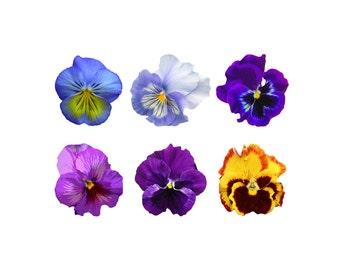Pansy Clip Art - Pansy Clipart, Clip Art Pansy, Clipart Pansy, Pansy Flower Clip Art, Floral Clip Art, Wedding Clip Art, Invitation Clip Art