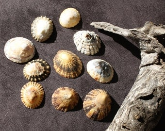 Seashells Assorted Limpet Shells (set of 10)