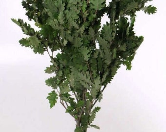 A Bunch of dried oak leaves | green oak leaf |  preserved oak leaf for craft | bouquet of oak leaves