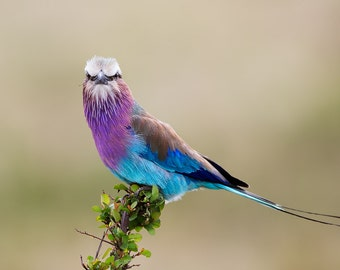 Lilac-breasted Roller, Bird Print, Bird Photography, Bird Art, Serengeti Print, Nature Photography, African Print, Africa Photo, Bird Photo