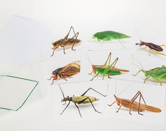 Note cards with Images of Singing Insects
