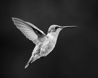 Black and White Prints, Bird Art, Hummingbird Picture, Black & White Photography, Nature Photography, Photo Gift Ideas, Nature Home Decor
