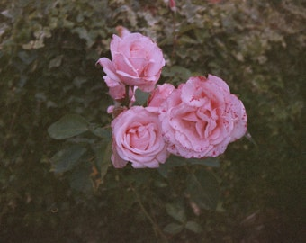 Roses - Fine Art Photography Print