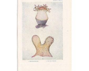 1907 ANTIQUE SEA LIFE lithograph - original antique print - sea life marine beach ocean -coral anemone sponge