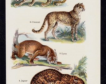 1909 Antique print of WILD CAT species, Leopard, Cheetah, lynx, jaguar. Lithograph + 100 years older