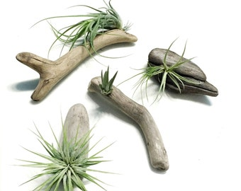 Air Plants on Driftwood: Mounted Tillandsias on Driftwood pieces