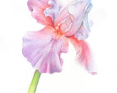Fine art watercolor painting, flower art, violet, pink, Iris, WATERCOLOR PRINT, giclee print, flower interest