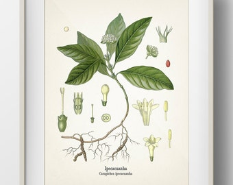 Ipecac - Carapichea ipecacuanha - KO-43- Fine art print of a vintage botanical natural history antique illustration