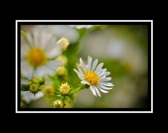 White Wildflower Flower Photograph, Botanical Horizontal Wall Art, Daisy Photography, Spring Flower Photo Print, Fine Art Nature Photograph