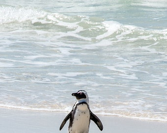 Beach Penguin - Animal Photography, Archival Giclee Print, Bird Wildlife Photo - Multiple Sizes Available