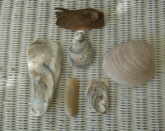 Mid Atlantic Shells and Driftwood - Delaware - The First State - Beach Finds - Clean - Collectible - Upcycle - Ocean Shells - Atlantic Ocean