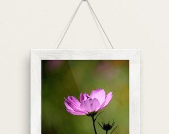 cosmo, pink, green, flower, bokeh, green meadows farm, south hamilton, massachusetts, new england, photography, fine art print