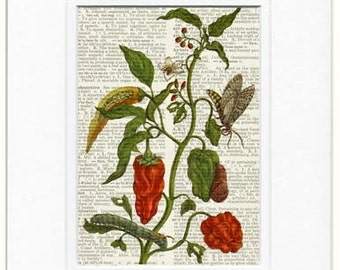Red Pepper XIII dictionary page print