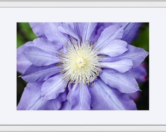 """Landscape Photography, Large Wall Art Print, Nature Photography, Fine Art Print, Macro Photography, Flower Photography, """"Clematis"""""""