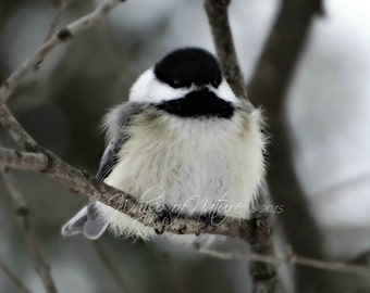 Just a Little Chickadee, 4x6 Print Matted in White to 5x7
