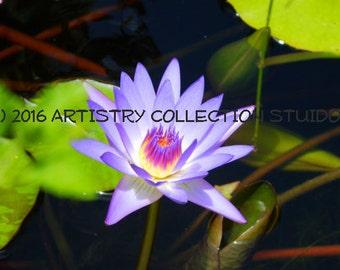 Bahamas Water Lily 1