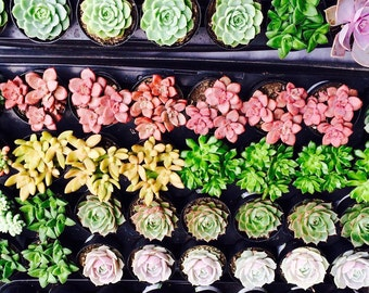 "16 Assorted 2.5"" potted rooted succulents plants"
