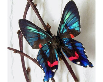 Blue Jewel Butterfly Ancyluris with branches naturescape - Real Framed Butterfly