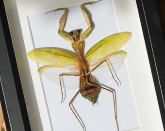 Framed praying mantis