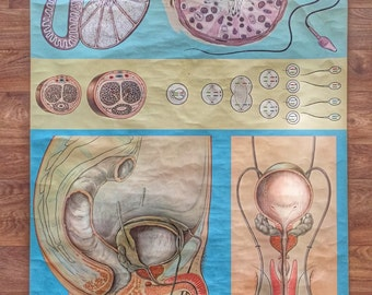 German medical wallchart of male reproductive organs circa 1973 by Hagemann of Dusseldorf