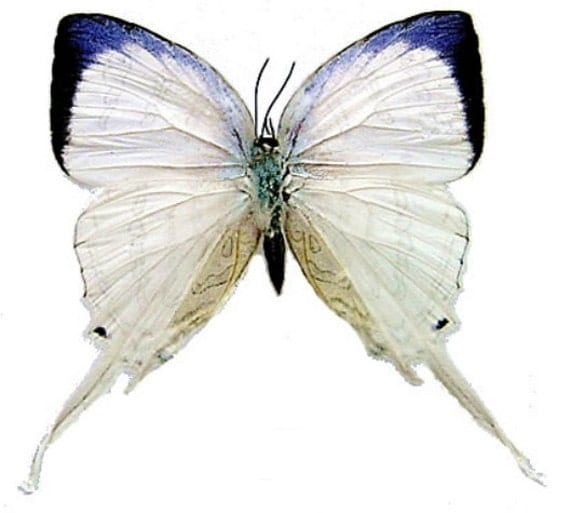 Supplies for your artworks - dried insects - : 5 Neomyrina nivea , unmounted Aa-, FREE SHIPPING , hairstreak