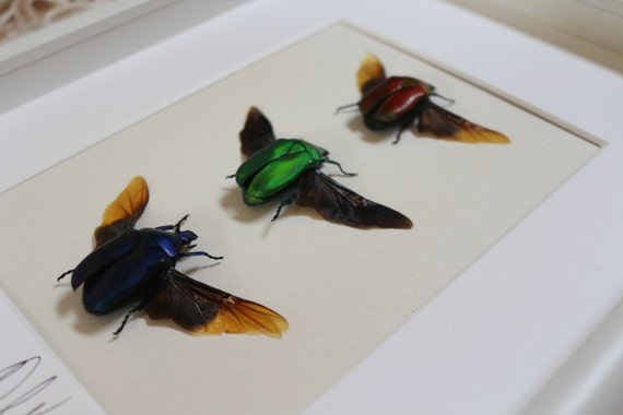 Artframe with real insects : Topquality display with trio of real mounted  beetles with open wings , FREE SHIPPING