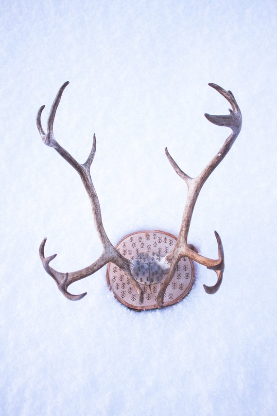 Real reindeer antlers - photo#19