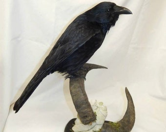 Taxidermy crow on top half of rams skull wooden base,