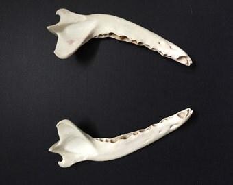 Real Coyote Jaw, Animal Bones, Curio Cabinet, Curiosities and Oddities, Taxidermy, Oddities, Real Bones, Natural, Glass Vial, Bones, Gifts