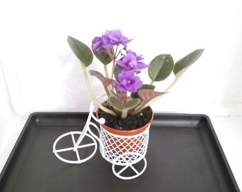MiniGardenn - Novelty African Violet plant -with Mini Bicycle (Free Shipping!)