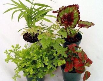 "Terrarium & Fairy Garden Plants - 5 Plants in 2"" pots (FREE SHIPPING)"