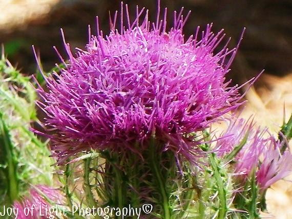 Purple Thistle photography, Photograph, Macro flower photograph, purple garden, green & white, 2514(2)
