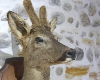 Taxidermy // Deer Taxidermy