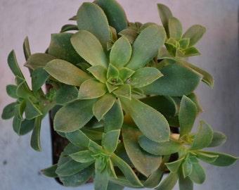 Medium Aeonium Kiwi Verde