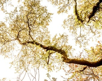 Golden tree crowns