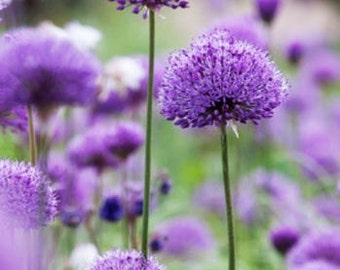 50 Purple Chive Seeds Ezo Onions Allium Schoenoprasum Organic Vegetables
