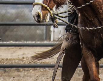 horse with hackamore